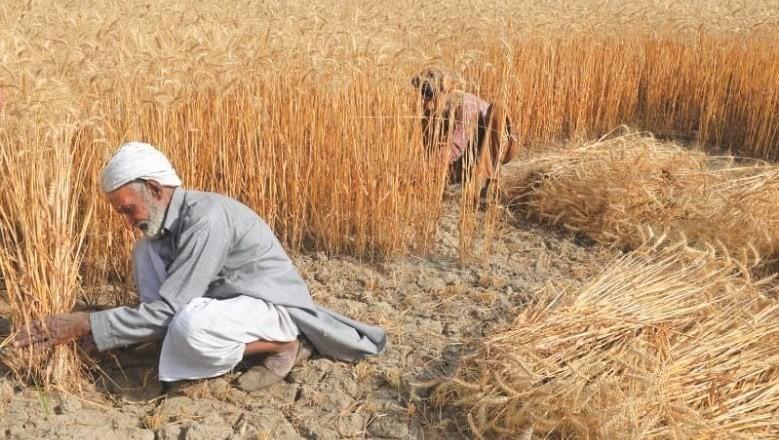 Wheat crop 1